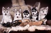 Продаю щенков Сибирский хаски