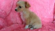 Мелкий щеночек чихуахуа