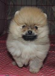 продам померанского щенка