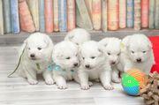 Продам щенков Сибирской лайки самоед