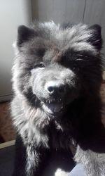 Продам щенка Чау-чау