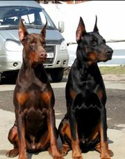 Шикарные щенки добермана