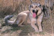 Собака Анита ласковая из приюта Хвостатый Рай