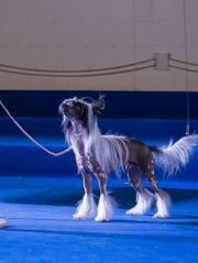 Пропал щенок вознаграждение 150000 тенге!
